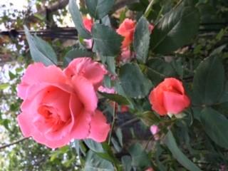 rose2 r1.jpg